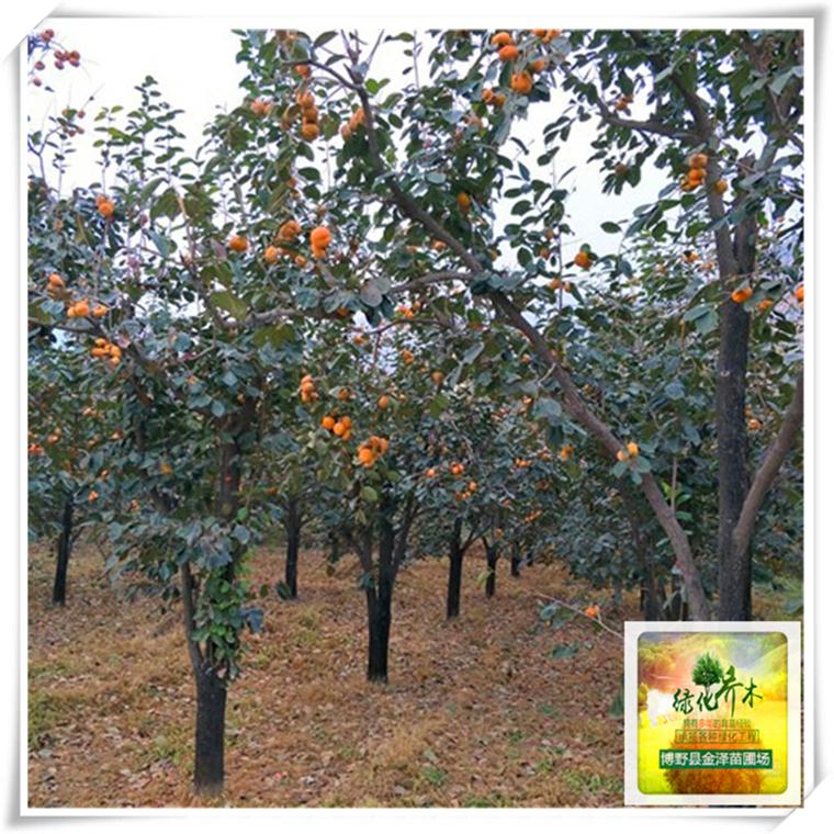 xiaona230柿子树.jpg